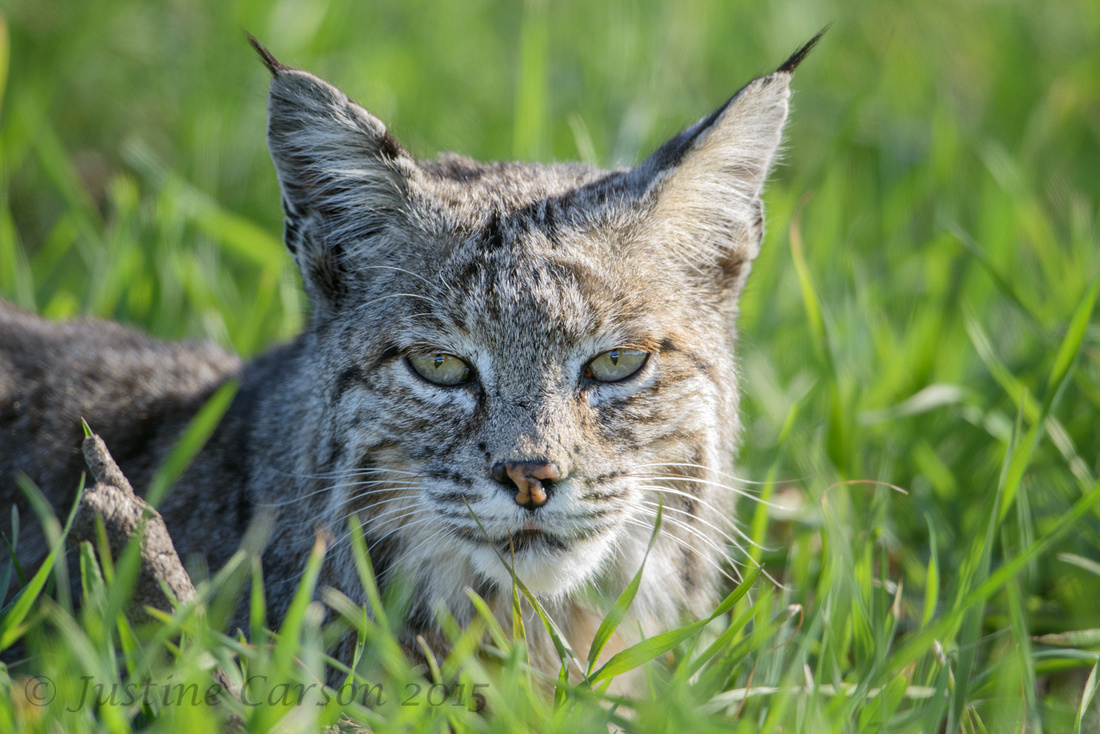 Female bobcat (Lynx rufus), Pinnacles National Park, California