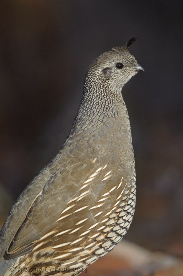Female California Quail, Monterey County, CA