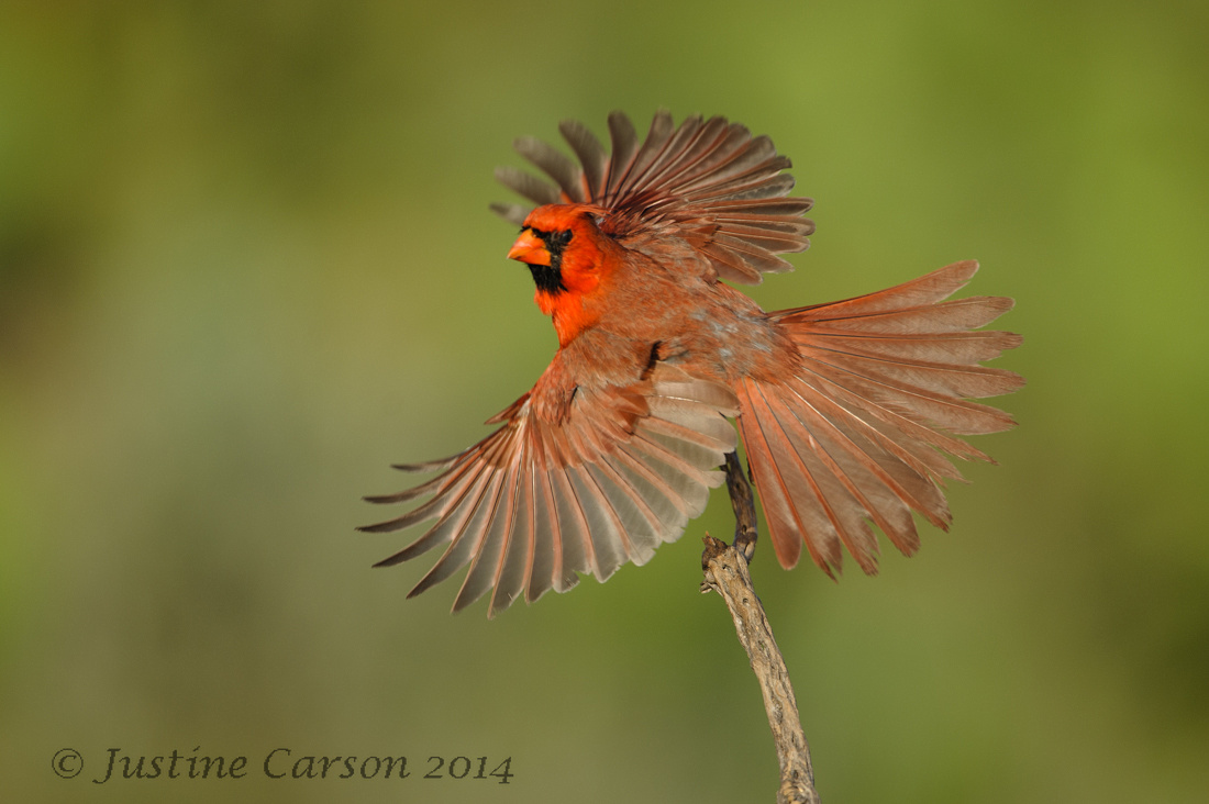 Male Northern Cardinal (Cardinalis cardinals)