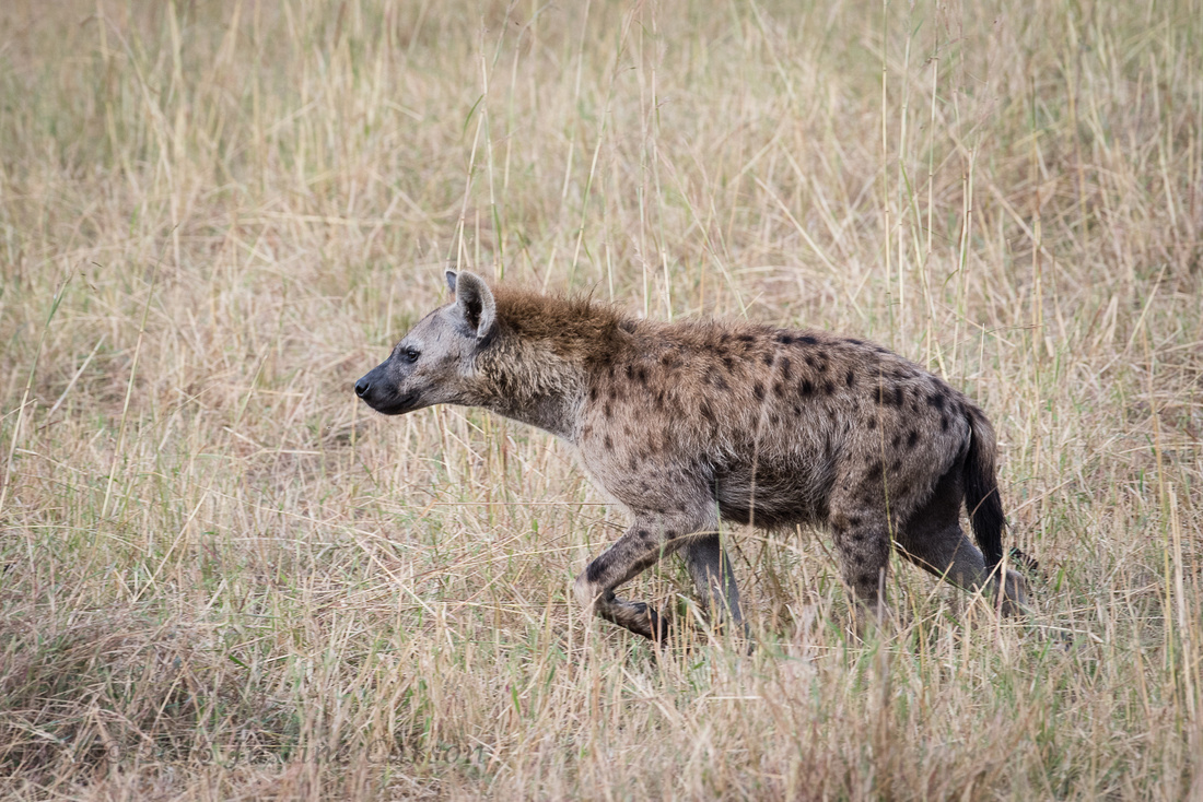 Spotted hyenas: Adult male