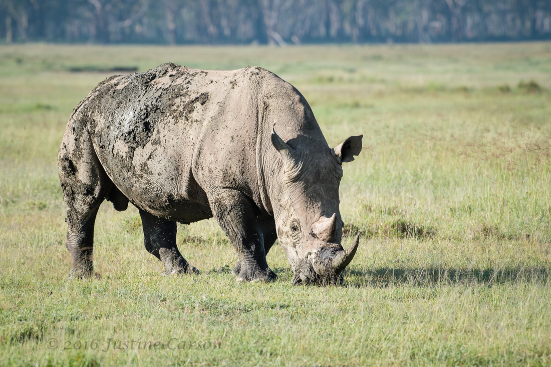 White Rhino has wide mouth well-suited for grazing in short gras