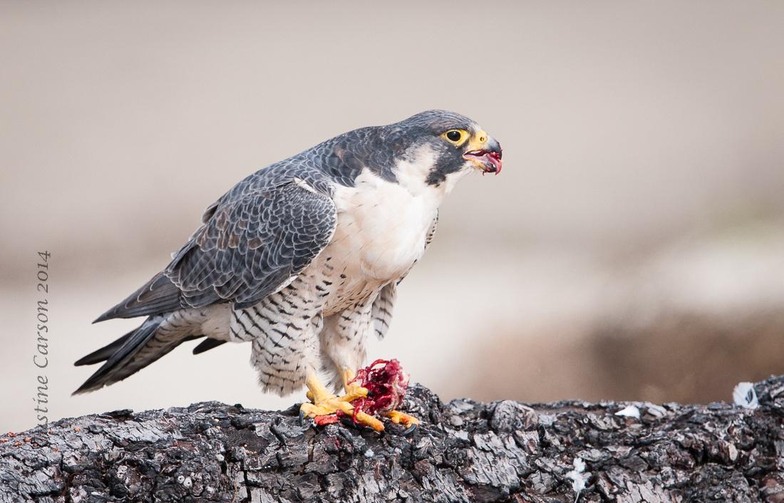 Peregrine Falcon (Falco peregrinus), Half Moon Bay State Beach, CA