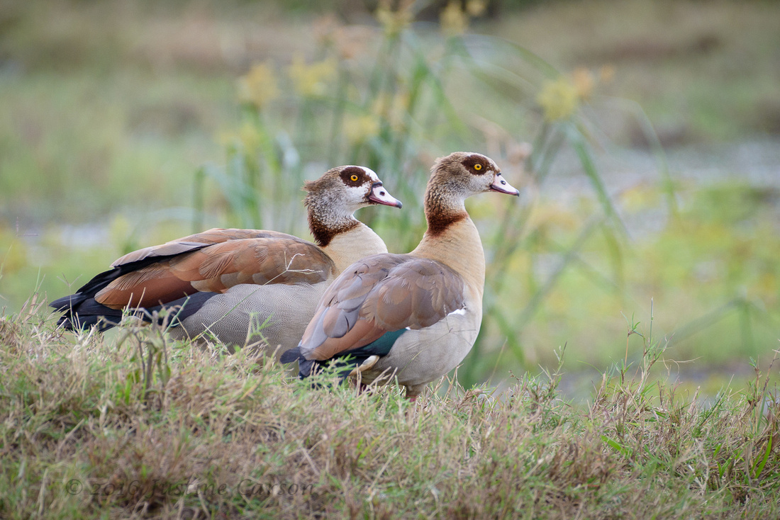 Pair of Egyptian Geese, Maasai Mara