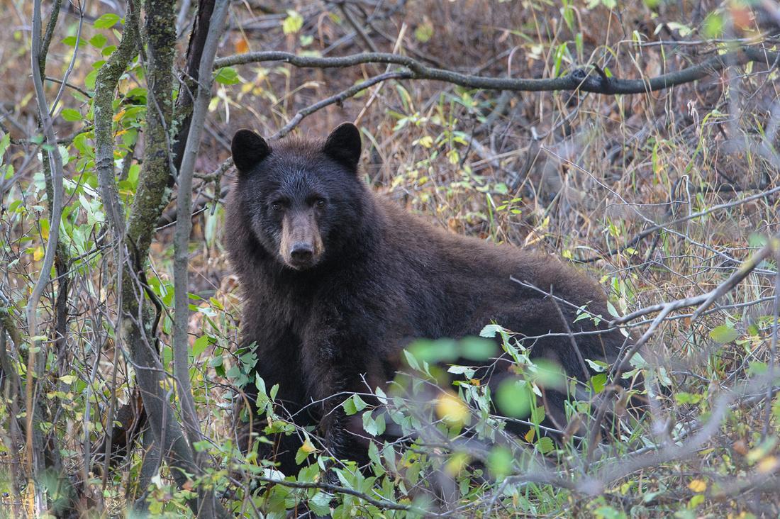 Black Bear (Ursus americanus), Grand Teton National Park, Wyoming