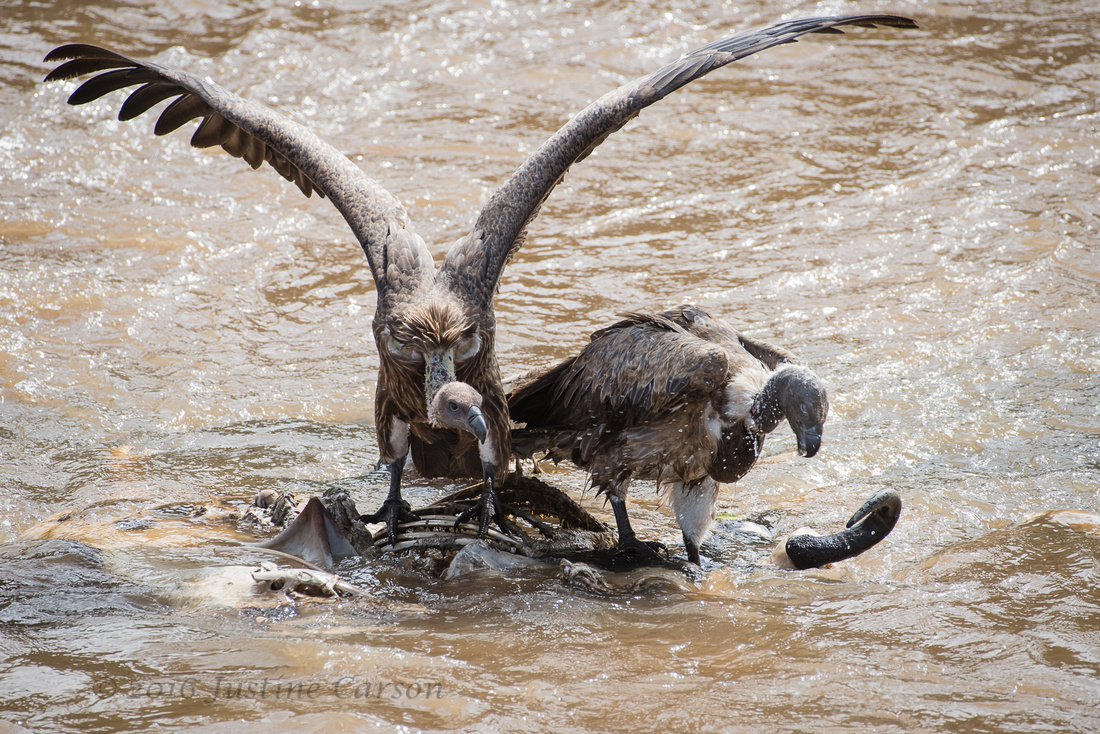 White-backed Vultures cleaning up the river, Maasai Mara