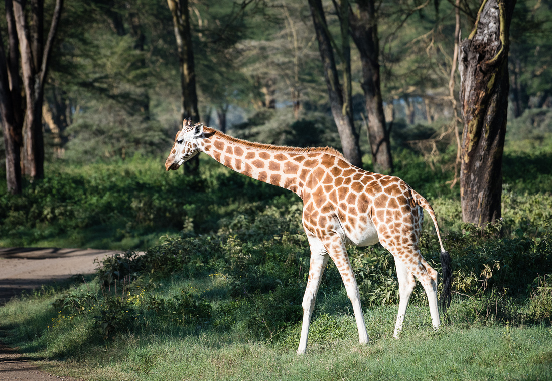 "Young Rothschild's Giraffe shows distinguishing ""white stockings"