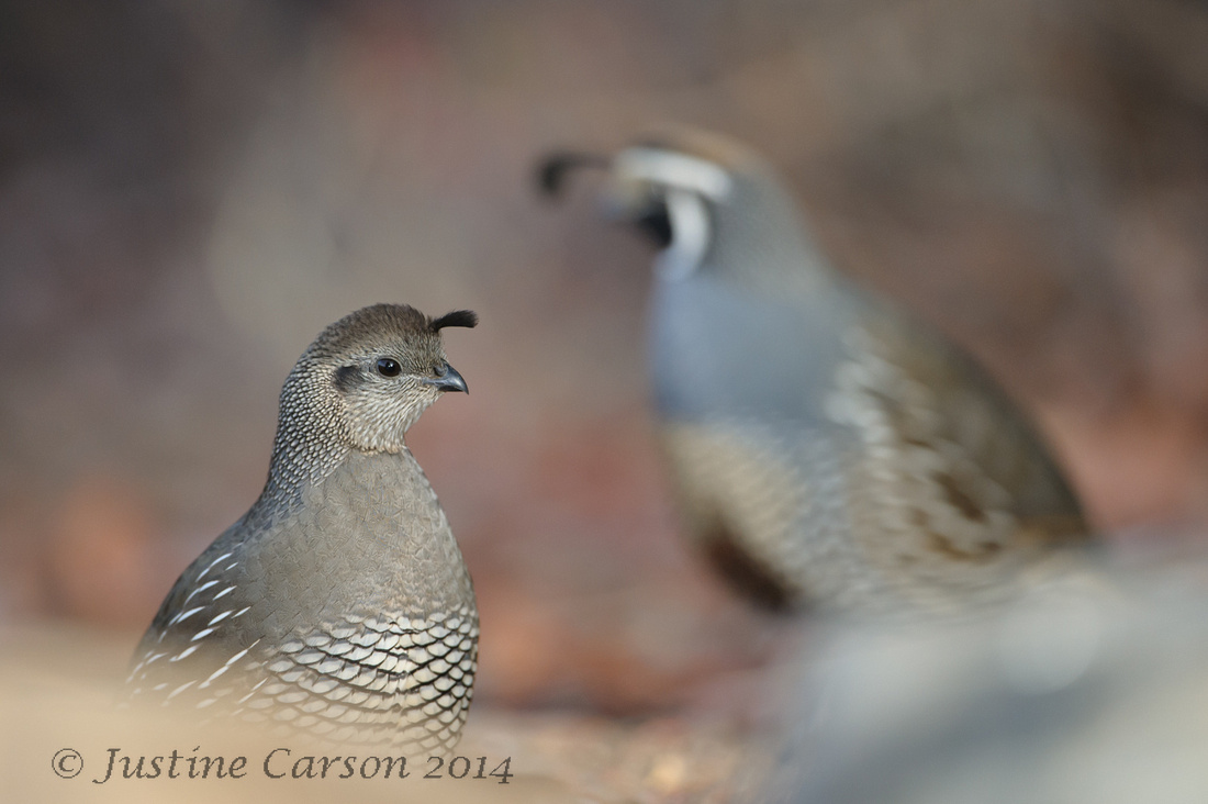 Male and Female California Quail, Monterey County, CA