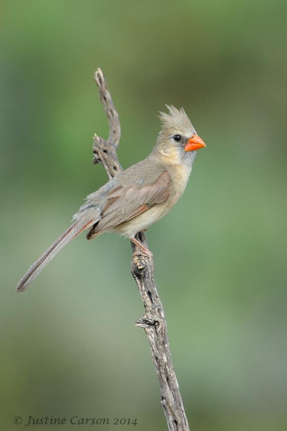 Female Northern Cardinal (Cardinalis cardinals)