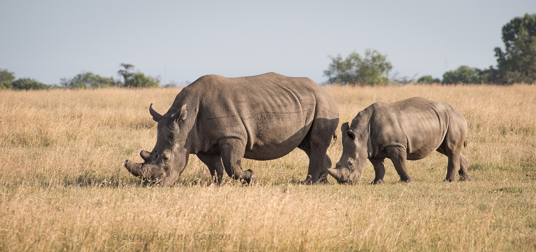 Female and young White Rhino, Ol Pejeta Conservancy, Kenya