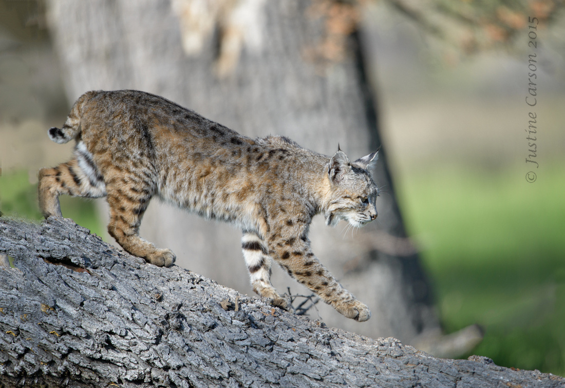 Bobcat (Lynx rufus), Pinnacles National Park, California