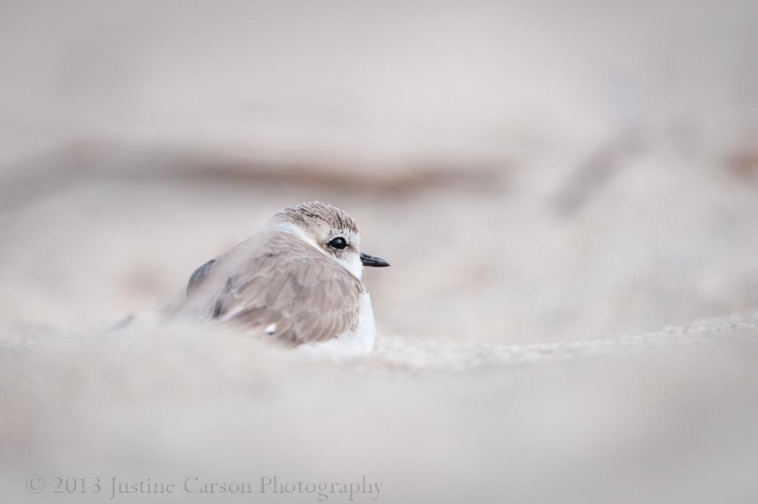 Snowy Plover (Charadrius alexandrinus), Half Moon Bay State Beach, CA