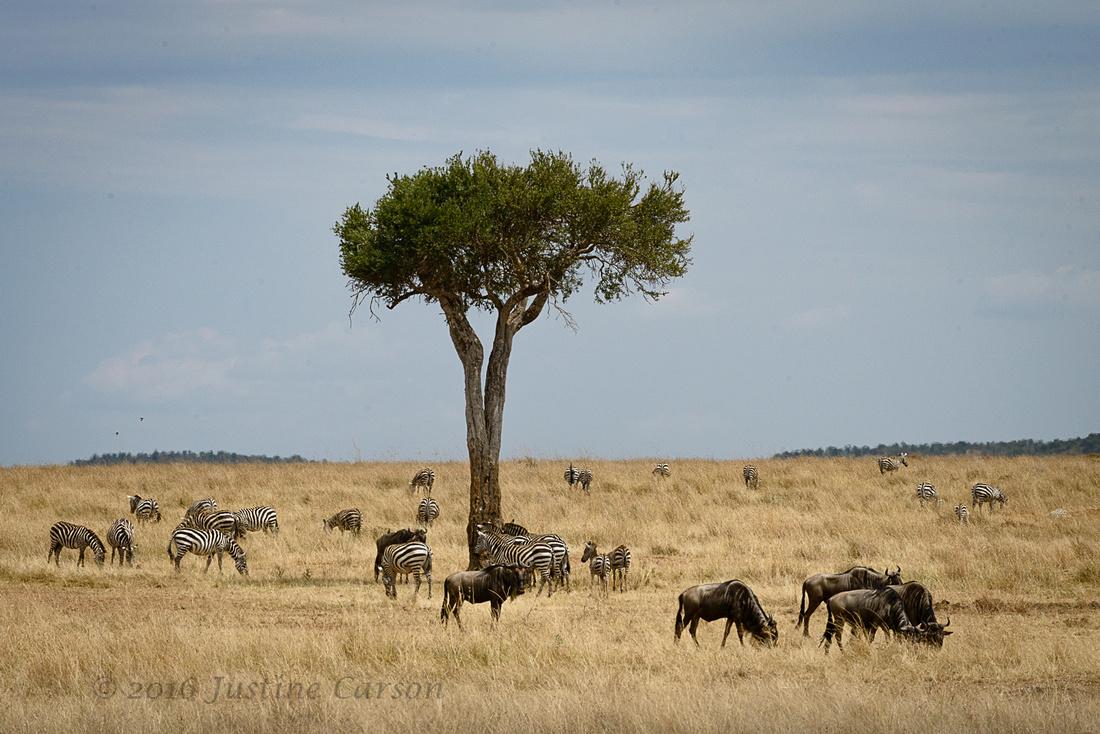 Small groups of zebra and wildebeest graze near a Balenites tree