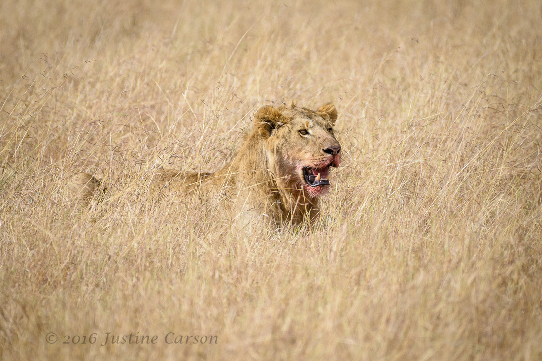 Male lion looks up from his meal, Maasai Mara