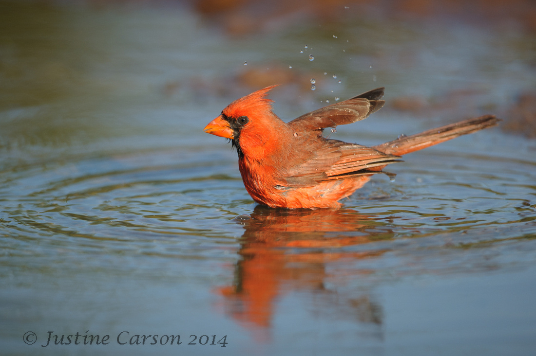 Male Northern Cardinal (Cardinalis cardinals) bathing