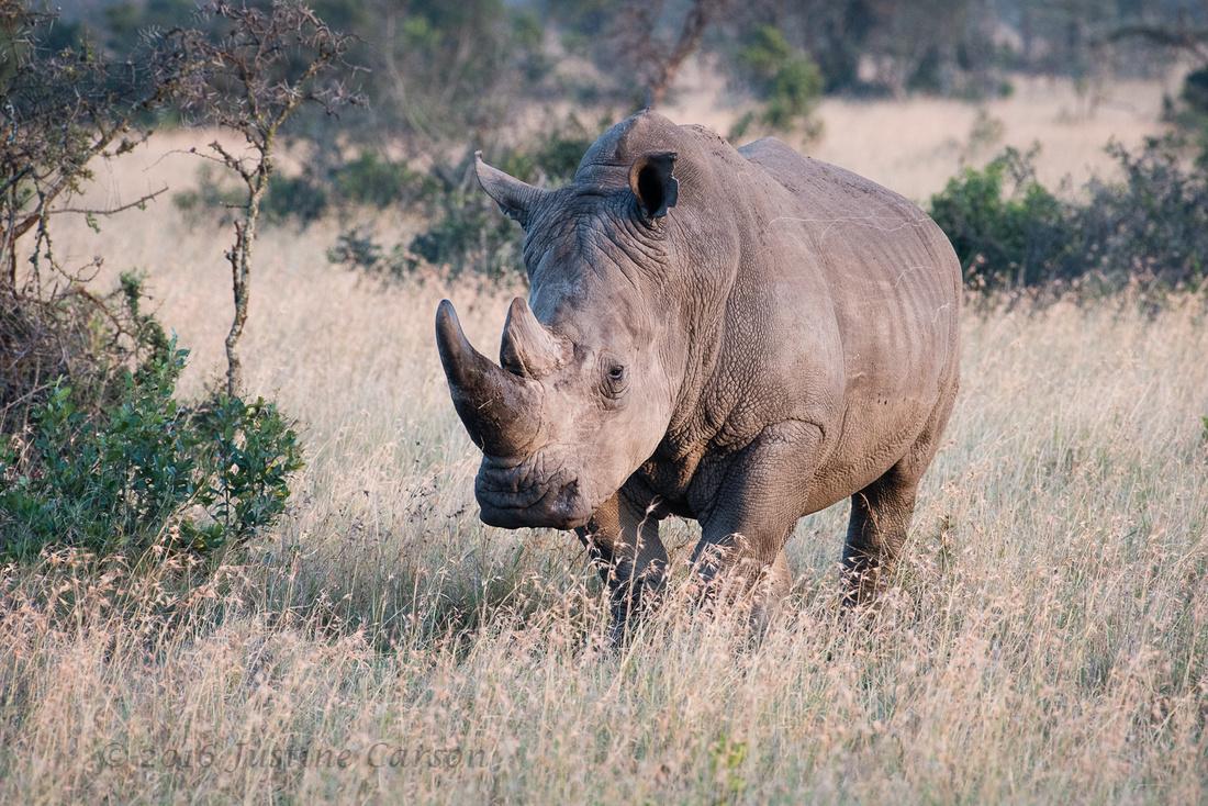 White Rhino, Ol Pejeta Conservancy, Kenya