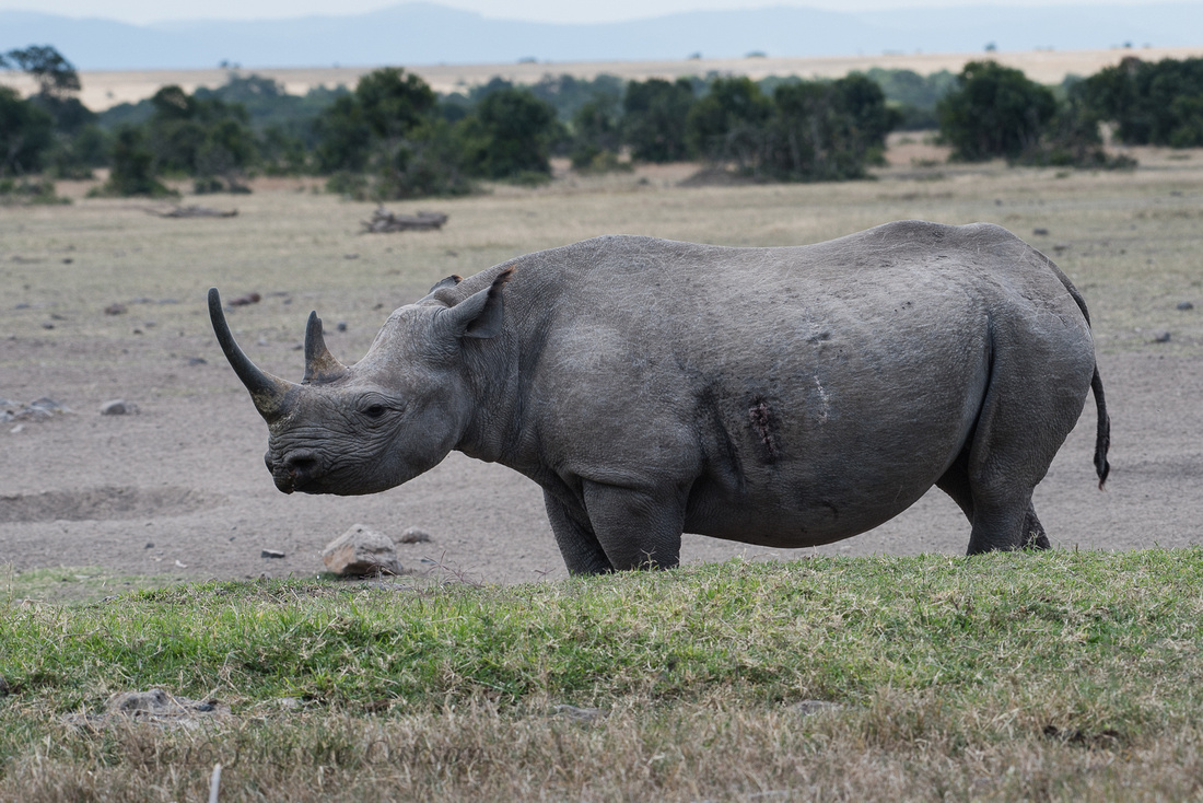 Black Rhino at waterhole, view from Sweetwater's Camp, Ol Pejeta