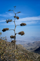 Havard Agave (Agave havariana), Big Bend National Park, Texas