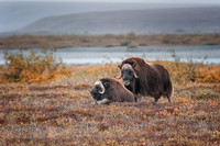 Musk Oxen (Ovibos moschatus) on tundra, North Slope, Alaska