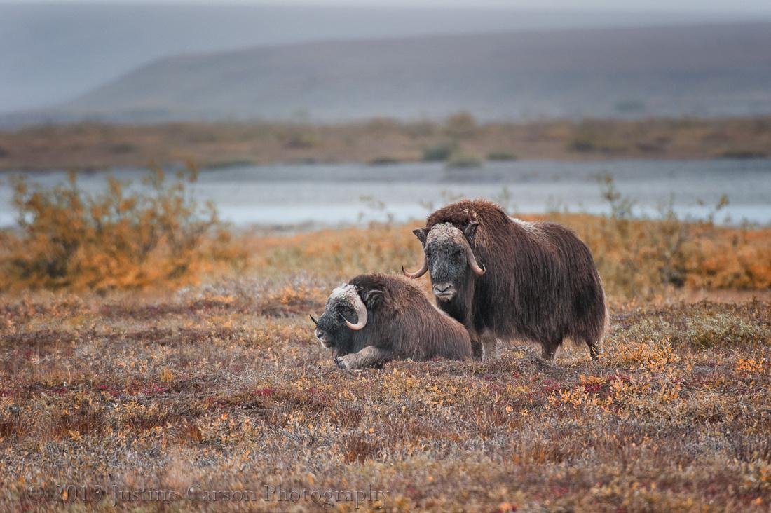 Musk Oxen (Ovibos moschatus) on tundra, North Slope, Alaska